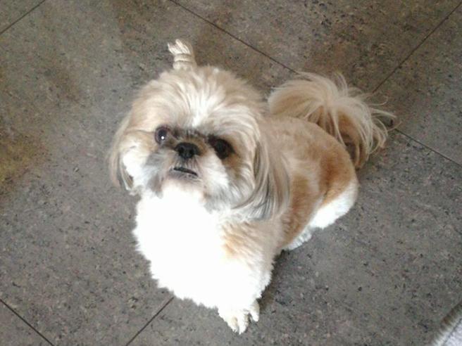 Joe,   il cane shitzu eroe sbranato dai pitbull per salvare i  suoi padroni  Foto