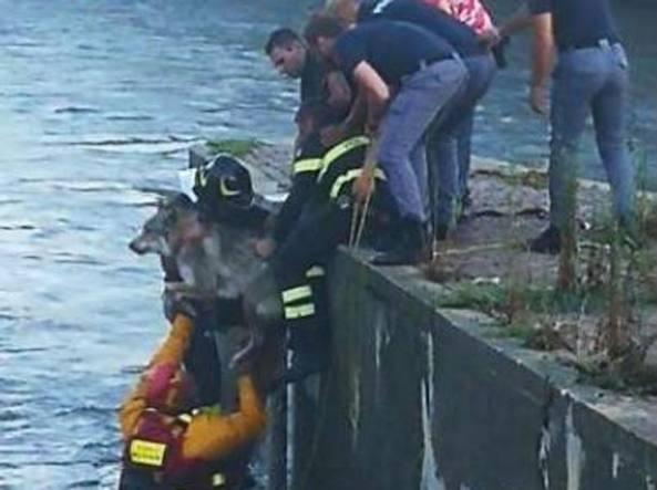 Il salvataggio del cane wallace che stava per annegare - Commissariato porta ticinese ...