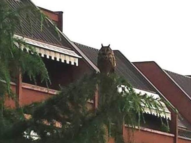 Il ritorno dell'esemplare di  gufo reale tra gli alberi dell'hinterland di Milano