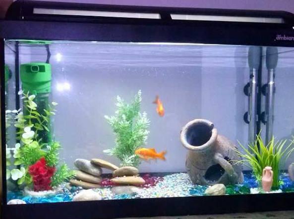 Cremona vietato tenere i pesci nella boccia rivolta d for Vasca x pesci rossi