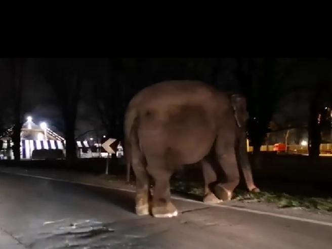 Elefante a spasso a Milano tra le auto nella circonvallazione dell&amprsquoIdroscalo. È scappato da un circo