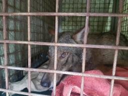 14a402d6cf796 Il test del Dna per svelare · il mistero del lupo salvato · in Darsena dai  pompieri