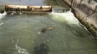 Anatroccoli rischiano di annegare nel Naviglio  due passanti si tuffano e  li salvano 651a4378241