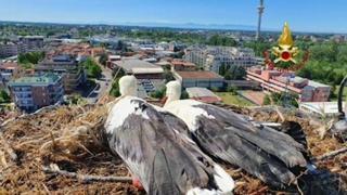 Milano, i vigili del fuoco aiutano una coppia di cicogne a ricostruire il nido