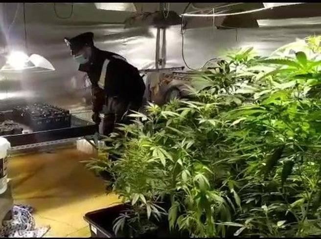 Crema, «siamo giardinieri» ma coltivavano serra di marijuana: due arresti